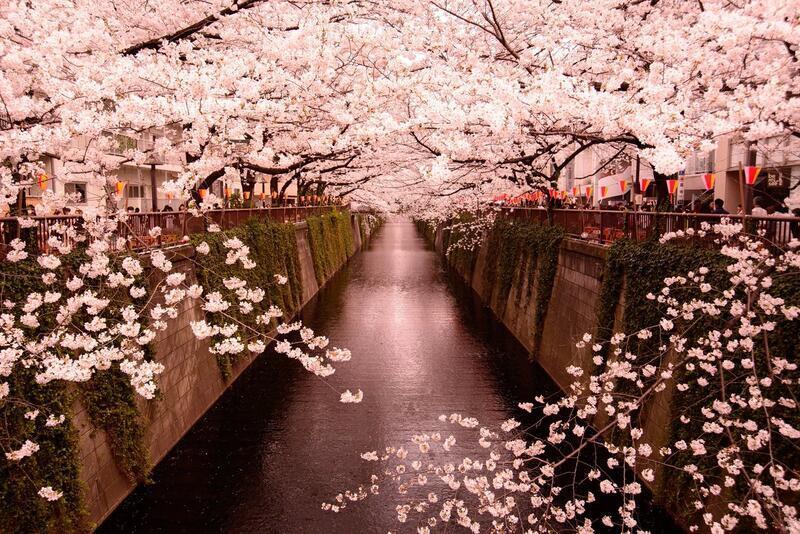 Найновіші Фотошпалери Цвітіння Сакури в Японії Природа, Фотошпалери Цвітіння Сакури, Фотошпалери японської Сакури, Фотошпалери квіти, Фотошпалери Японія id1674995814