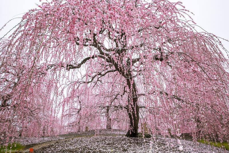 Найновіші Фотошпалери Цвітіння Сакури в Японії Природа, Фотошпалери Цвітіння Сакури, Фотошпалери японської Сакури, Фотошпалери квіти, Фотошпалери Японія id1041828222