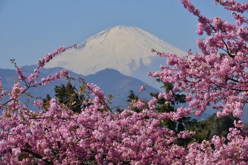Новейшие Фотообои Цветения Сакуры в Японии Природа, Фотообои Цветение Сакуры, Фотообои японской Сакуры, Фотообои цветы, Фотообои Япония id456451708