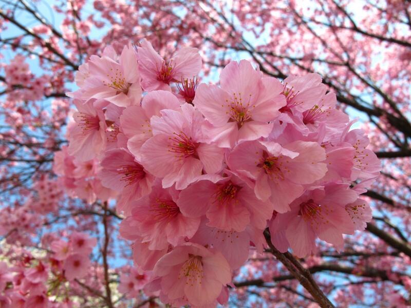 Найновіші Фотошпалери Цвітіння Сакури в Японії Природа, Фотошпалери Цвітіння Сакури, Фотошпалери японської Сакури, Фотошпалери квіти, Фотошпалери Японія id557782362