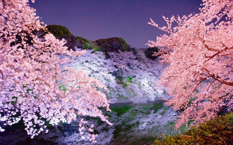 Найновіші Фотошпалери Цвітіння Сакури в Японії Природа, Фотошпалери Цвітіння Сакури, Фотошпалери японської Сакури, Фотошпалери квіти, Фотошпалери Японія id1930248636