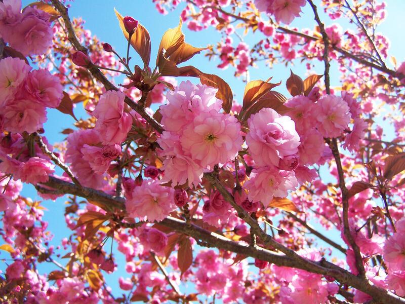 Новейшие Фотообои Цветения Сакуры в Японии Природа, Фотообои Цветение Сакуры, Фотообои японской Сакуры, Фотообои цветы, Фотообои Япония id231399937