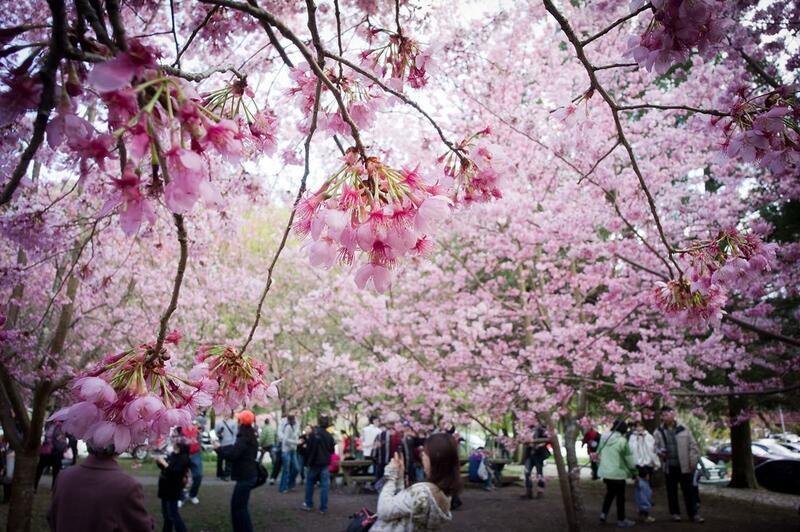Новейшие Фотообои Цветения Сакуры в Японии Природа, Фотообои Цветение Сакуры, Фотообои японской Сакуры, Фотообои цветы, Фотообои Япония id694409470