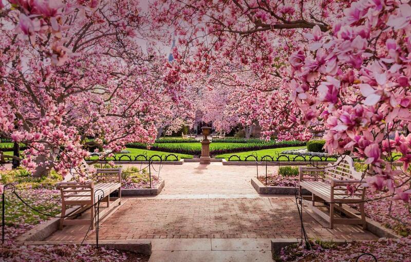 Новейшие Фотообои Цветения Сакуры в Японии Природа, Фотообои Цветение Сакуры, Фотообои японской Сакуры, Фотообои цветы, Фотообои Япония id822005426