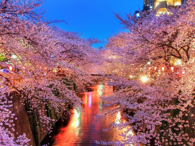 Newest Japan Sakura Blossom Wallpapers Природа, Wallpapers Sakura blossom, Wallpapers Japanese Sakura, Wallpapers flowers, Wallpapers Japan id1980590333