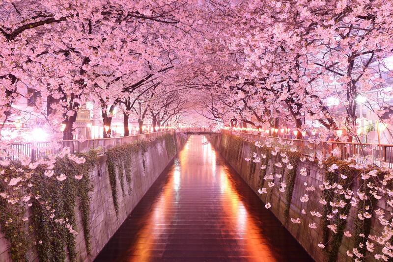 Newest Japan Sakura Blossom Wallpapers Природа, Wallpapers Sakura blossom, Wallpapers Japanese Sakura, Wallpapers flowers, Wallpapers Japan id2132204411