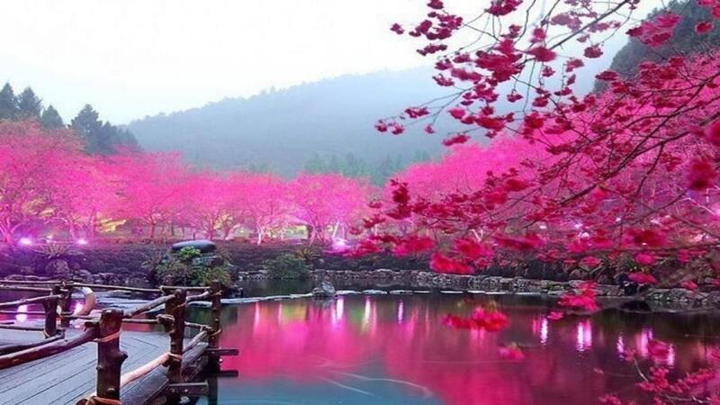 Newest Japan Sakura Blossom Wallpapers Природа, Wallpapers Sakura blossom, Wallpapers Japanese Sakura, Wallpapers flowers, Wallpapers Japan id1528149286