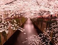 Найновіші Фотошпалери Цвітіння Сакури в Японії Природа, Фотошпалери Цвітіння Сакури, Фотошпалери японської Сакури, Фотошпалери квіти, Фотошпалери Японія id1169308474