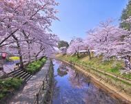 Найновіші Фотошпалери Цвітіння Сакури в Японії Природа, Фотошпалери Цвітіння Сакури, Фотошпалери японської Сакури, Фотошпалери квіти, Фотошпалери Японія id1902197016