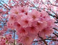 Найновіші Фотошпалери Цвітіння Сакури в Японії Природа, Фотошпалери Цвітіння Сакури, Фотошпалери японської Сакури, Фотошпалери квіти, Фотошпалери Японія id1739132497