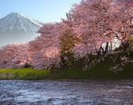 Найновіші Фотошпалери Цвітіння Сакури в Японії Природа, Фотошпалери Цвітіння Сакури, Фотошпалери японської Сакури, Фотошпалери квіти, Фотошпалери Японія id1723627873