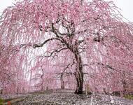 Найновіші Фотошпалери Цвітіння Сакури в Японії Природа, Фотошпалери Цвітіння Сакури, Фотошпалери японської Сакури, Фотошпалери квіти, Фотошпалери Японія id1828198540