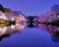 Новейшие Фотообои Цветения Сакуры в Японии Природа, Фотообои Цветение Сакуры, Фотообои японской Сакуры, Фотообои цветы, Фотообои Япония id1248170202